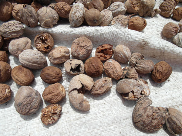 Nutmegs drying in the Banda Islands, Indonesia